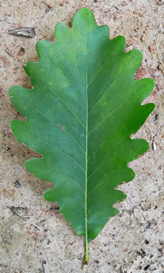 leaf or frond of Quercus michauxii, Swamp Chestnut Oak, Basket Oak