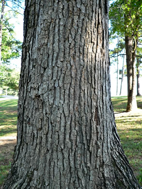 image of Quercus muehlenbergii, Chinquapin Oak, Yellow Chestnut Oak