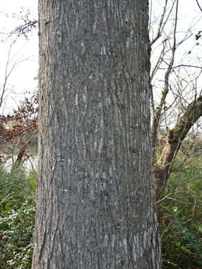 image of Quercus shumardii, Shumard Oak, Swamp Red Oak