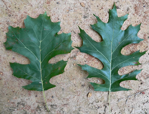 truncate: Quercus shumardii, Shumard Oak, Swamp Red Oak