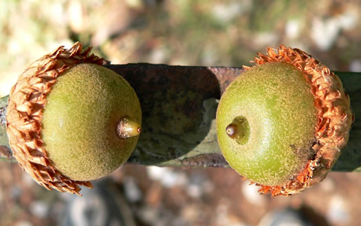 fruit of Quercus velutina, Black Oak