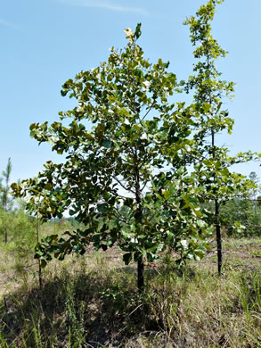 image of Quercus marilandica var. marilandica, Blackjack Oak