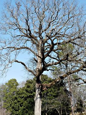 image of Quercus stellata, Post Oak