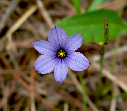 image of Sisyrinchium atlanticum, Atlantic Blue-eyed Grass