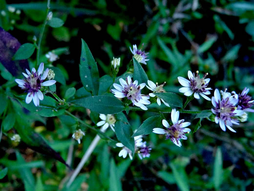 picture of Aster lateriflorus, image of Symphyotrichum lateriflorum var. lateriflorum