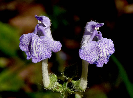 flower of Scutellaria ovata ssp. bracteata, Heartleaf Skullcap
