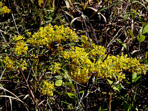 image of Solidago rigidiuscula, Narrowleaf Showy Goldenrod, Slender Showy Goldenrod