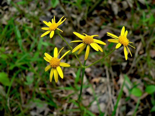 flower of Packera paupercula var. paupercula, Balsam Ragwort, Northern Meadow Groundsel