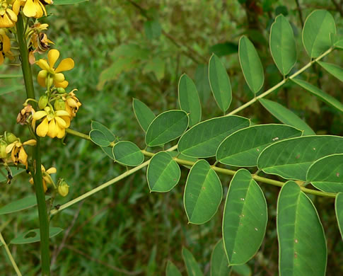 pinnately compound leaves of forbs: Senna marilandica, Senna marilandica, Cassia marilandica