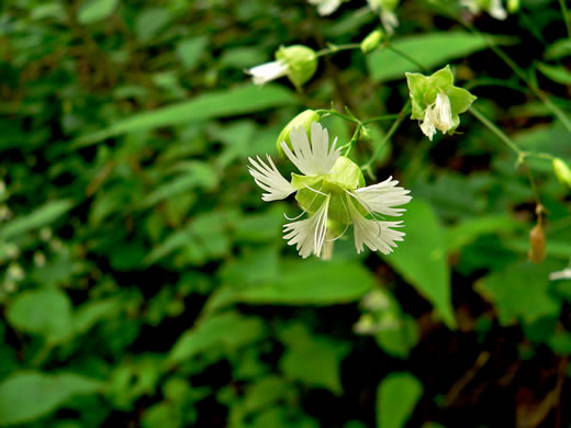 image of Silene stellata, Starry Campion, Widow's-frill