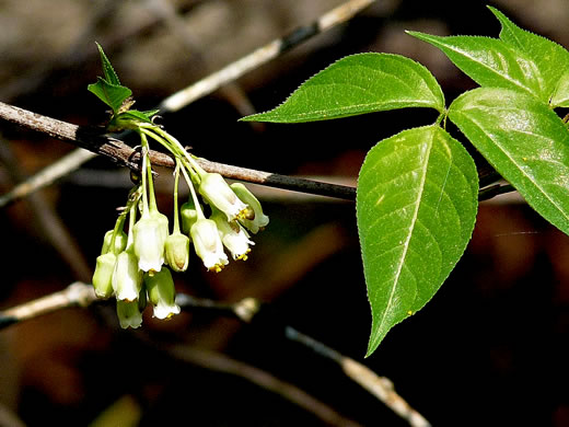 image of Staphylea trifolia