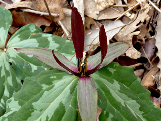 ovary: Trillium species 3, , -