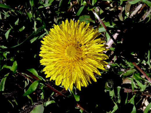 image of Taraxacum officinale, Common Dandelion