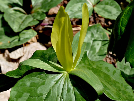 petal shape in yellow-flowering Trilliums: Trillium luteum, Trillium luteum, Trillium cuneatum var. luteum