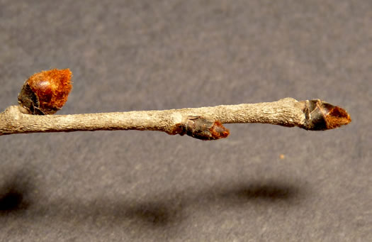 image of Ulmus rubra, Slippery Elm, Red Elm