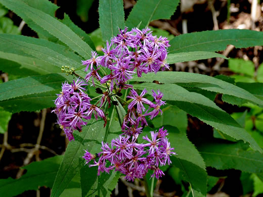 flower of Vernonia flaccidifolia, Tennessee Ironweed