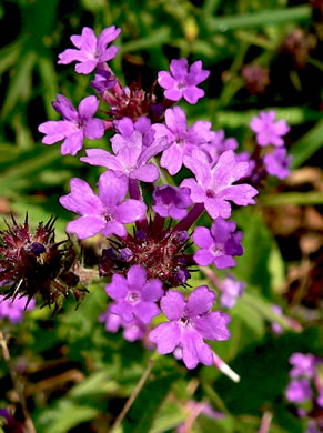 image of Verbena rigida