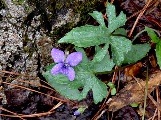 image of Viola palmata, Early Blue Violet, Wood Violet, Palmate-leaved Violet