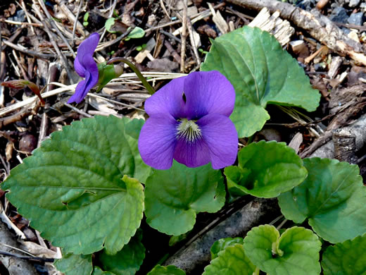 image of Viola sororia, Dooryard Violet, Confederate Violet, Common Blue Violet