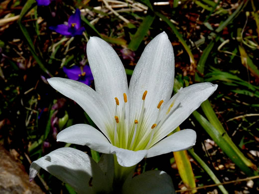 image of Zephyranthes atamasco, Common Atamasco Lily, Rain-lily, Easter Lily, Naked Lily