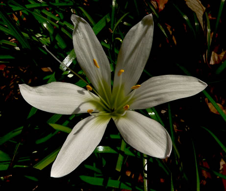 picture of Zephyranthes atamasco, image of Zephyranthes atamasco