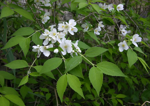 image of Philadelphus hirsutus, Hairy Mock-orange, Cumberland Mock-orange
