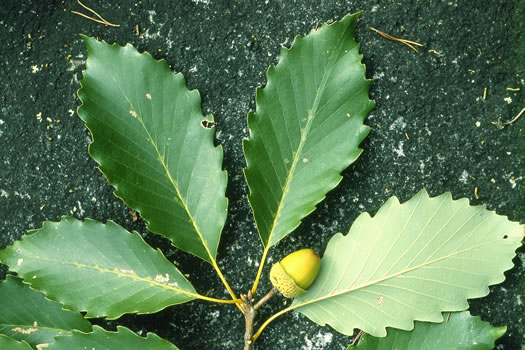 leaf or frond of Quercus montana, Rock Chestnut Oak, Tanbark Oak