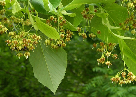 flower of Tilia americana var. heterophylla, Mountain Basswood, White Basswood