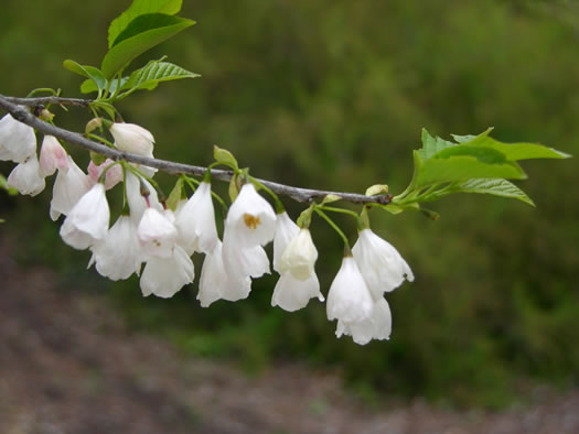 anther: Halesia tetraptera var. tetraptera, Common Silverbell