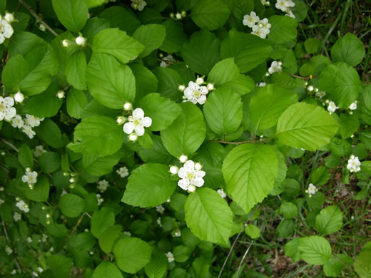 image of Crataegus triflora, Threeflower Hawthorn