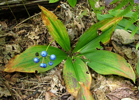 berry: Clintonia umbellulata, Speckled Wood-lily, White Clintonia