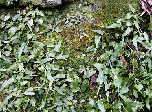 image of Asplenium rhizophyllum, Walking Fern