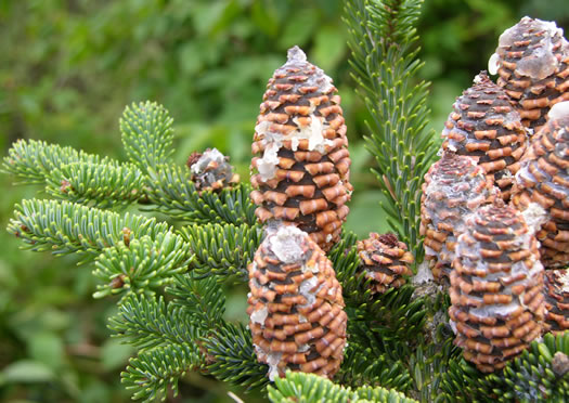 conifers (not including Pines): Abies fraseri, Abies fraseri, Abies fraseri
