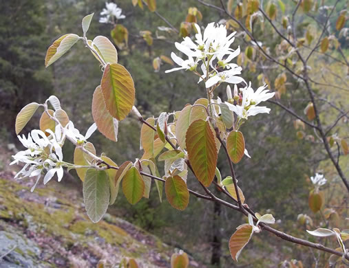 image of Amelanchier sanguinea, Roundleaf Serviceberry, New England Serviceberry