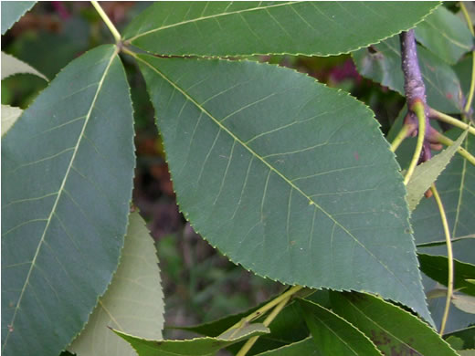 image of Carya texana, Black Hickory