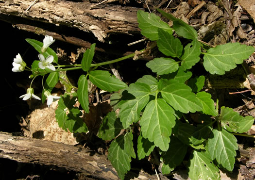 leaves of Toothwort species: Cardamine diphylla, Cardamine diphylla, Cardamine diphylla