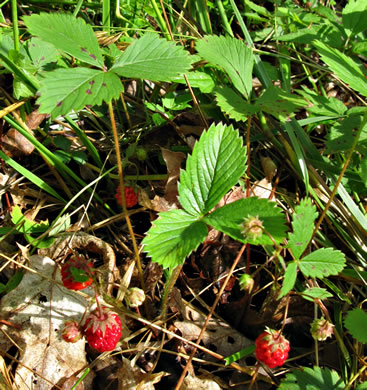 berry: Fragaria virginiana, Wild Strawberry