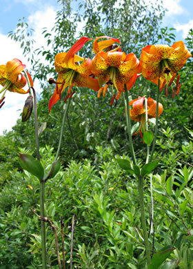 image of Lilium michauxii
