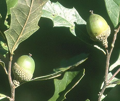 fruit of Quercus minima, Dwarf Live Oak