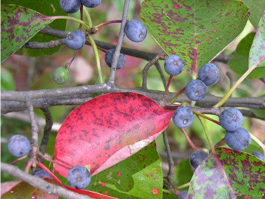 fruit of Nyssa sylvatica, Blackgum, Black Tupelo, Sour Gum