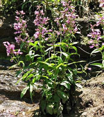 image of Penstemon canescens, Appalachian Beardtongue, Gray's Beardtongue, Eastern Gray Beardtongue