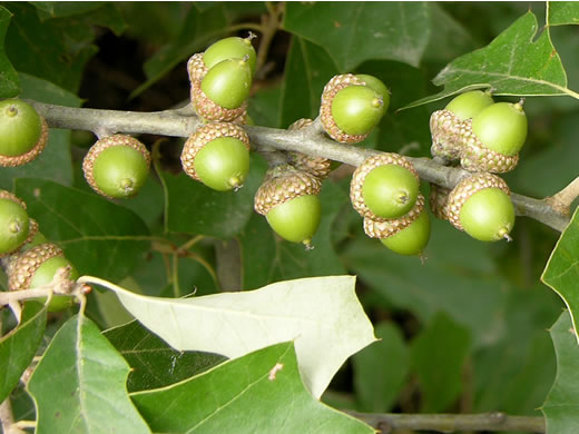 fruit of Quercus ilicifolia, Bear Oak, Scrub Oak