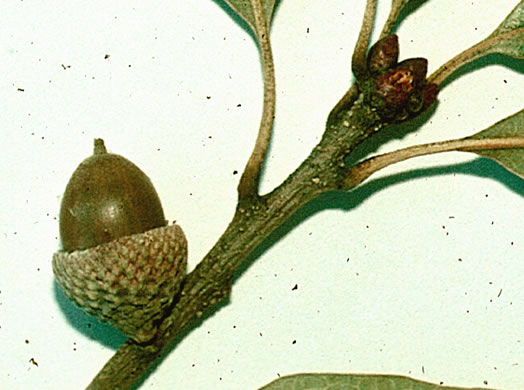 fruit of Quercus similis, Swamp Post Oak, Bottomland Post Oak, Delta Oak