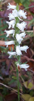 image of Spiranthes cernua, Nodding Ladies'-tresses