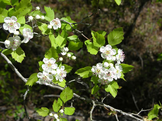 image of Crataegus ignava
