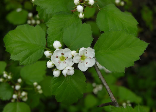 picture of Crataegus coccinea, image of Crataegus coccinea