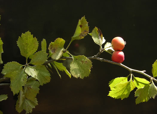 image of Crataegus dispar, Aiken Hawthorn