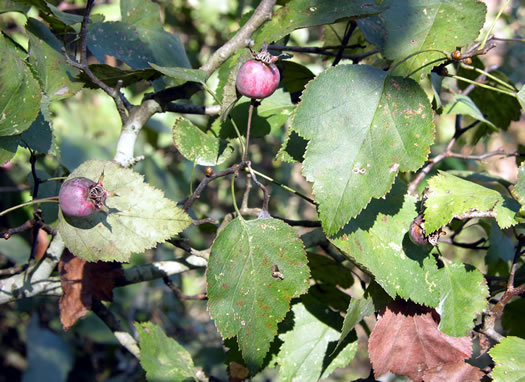 picture of Crataegus flabellata, image of Crataegus gattingeri