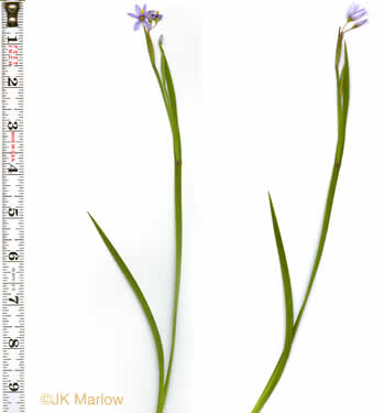 winged: Sisyrinchium spp., , Sisyrinchium spp.