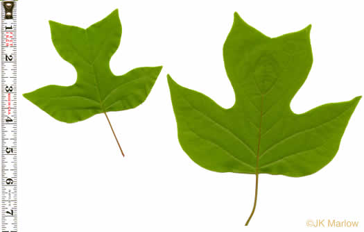 leaf or frond of Liriodendron tulipifera var. tulipifera, Tuliptree, Yellow Poplar, Whitewood